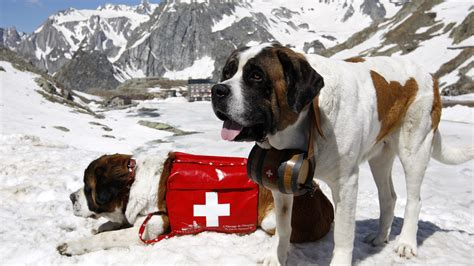 rescue dogs pics for gt rescue st bernard
