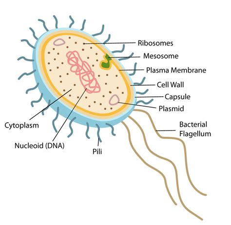 bacterial cell diagram labeled structure and function of prokaryotic cells