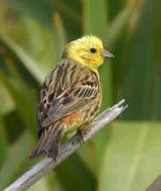alabama state bird yellowhammer pictures state birds