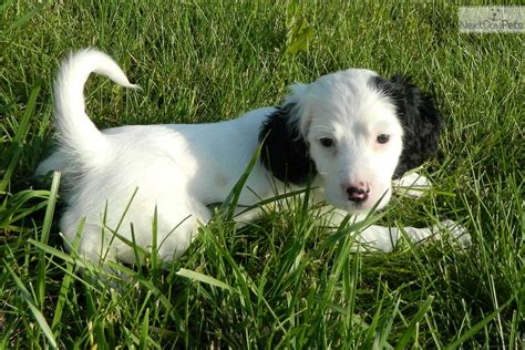 english setter dogs for sale english setter puppy for sale near southeast ks kansas
