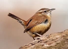 carolina wren identification all about birds cornell