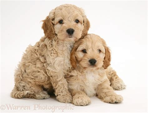 hypoallergenic dogs that don t shed dogs that don t shed 23 hypoallergenic breeds cockapoo for gigi