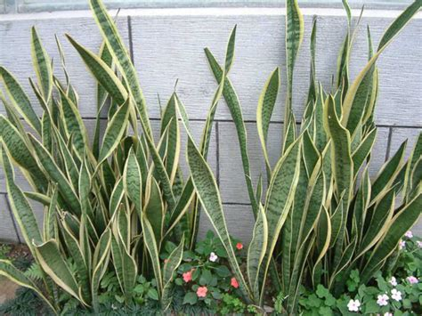 sansevieria trifasciata sansevieria trifasciata laurentii striped mother in