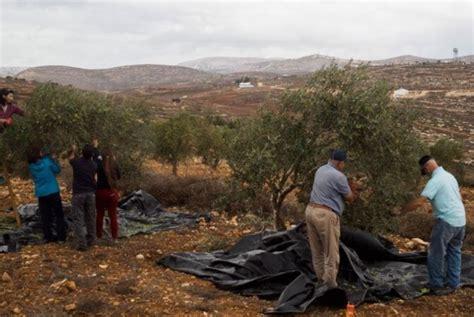 Minyak Zaitun Dari Israel petani gaza gembira sambut panen zaitun republika