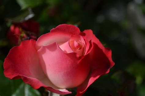 Beautiful Red Rose Flower Collection   HD (720p   1080p