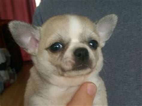 why does my shih tzu cough why do chihuahuas and other small dogs shiver pets4homes