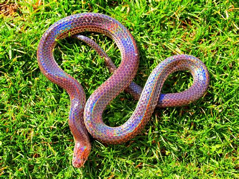 colorful snakes these colorful snakes are among the most beautiful