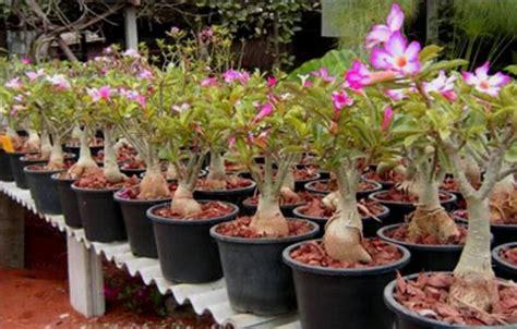 cara menanam bunga kamboja jepang adenium bibitbunga