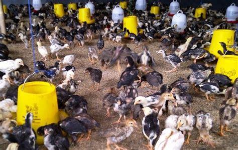 Minyak Ikan Untuk Pakan Ternak manfaat kandungan tepung ikan untuk pakan ternak asep
