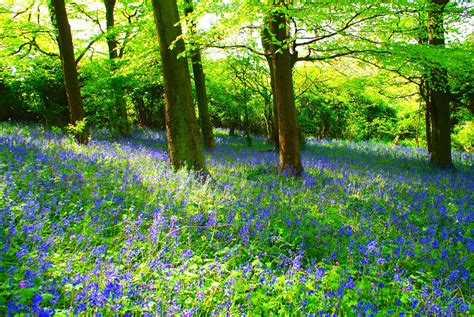 bluebell forest bluebell forest flickr photo sharing