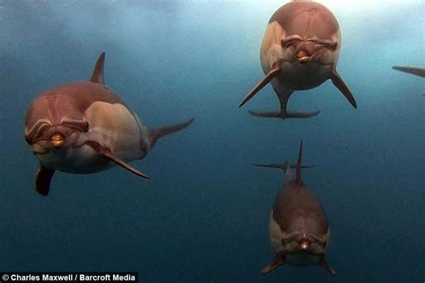 bait great white seal  dolphins chase remote camera