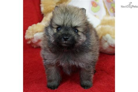 teacup pomeranian for sale in missouri pomeranian puppy for sale near springfield missouri d375134b e471