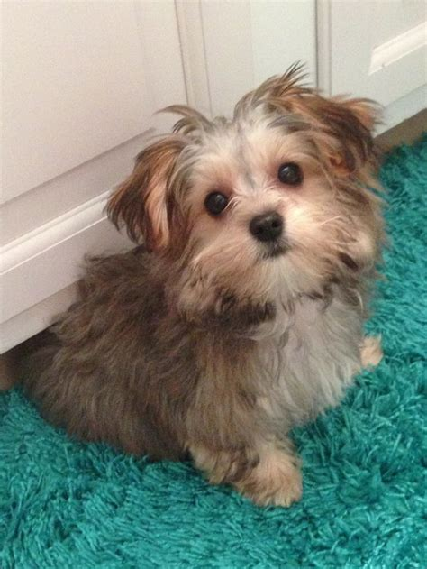 most popular haircut for morkie dogs 1378 best images about morkie1 com on pinterest