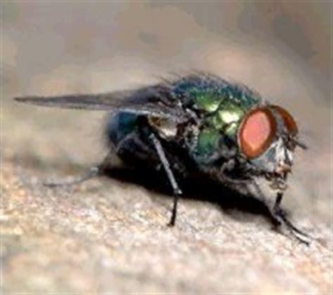 blo fly murda forensic entomology