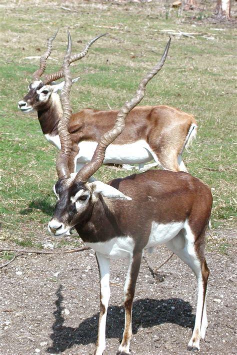 antelope wiktionary