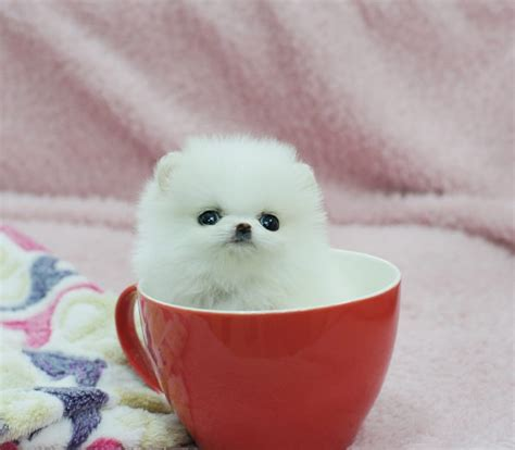 grown micro teacup pomeranian white teacup pomeranian grown up www imgkid the image kid has it