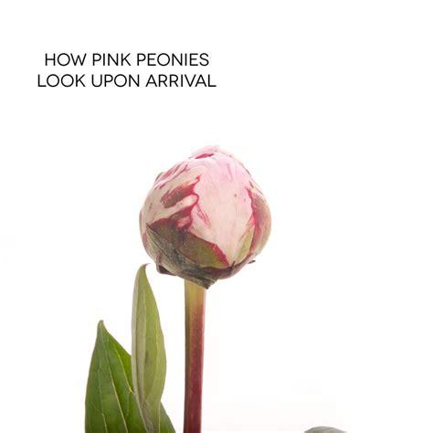 light pink peonies peonies types of flowers flower muse types of light pink flowers