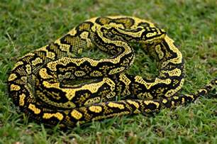 Lighting For Carpet Python Carpet Python Facts Photos Information Care
