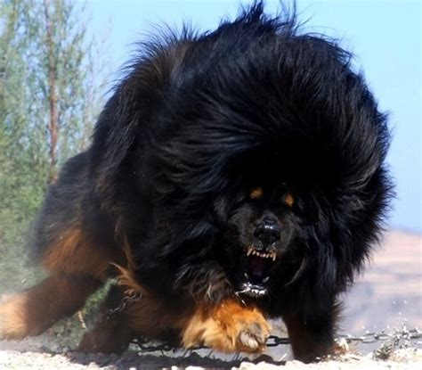russian shepherd russian caucasian mountain www pixshark images galleries with a bite