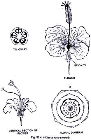 malvaceae floral diagram malvaceae characters distribution and types