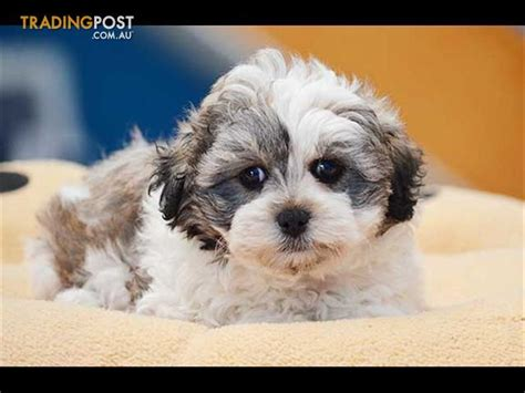 bichon frise shih tzu puppies zuchon bichon frise x shih tzu puppies for sale in hoppers crossing vic zuchon