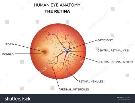 optic disc stock photos and human eye anatomy retina optic disc artery and vein etc