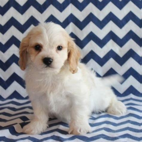 cavachon puppies for sale nc cavachon puppies for sale jacksonville fl 197031 petzlover