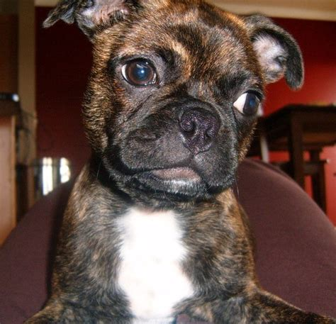 pug buggy 17 best images about buggs on best dogs puppys and just kidding