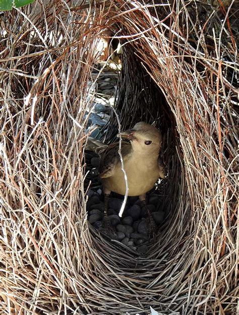 uccello giardiniere l uccello giardinere bowerbird