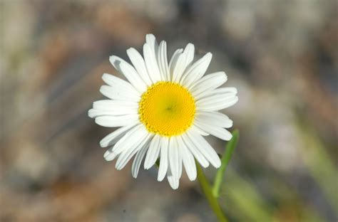 facts about daisy flowers becky shasta daisy flowers growing information