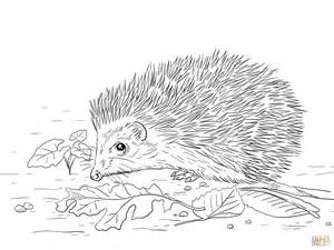 hedgehog coloring pages east european hedgehog coloring page free printable