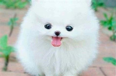 really puppies really dogs and puppies for sale white litle pups