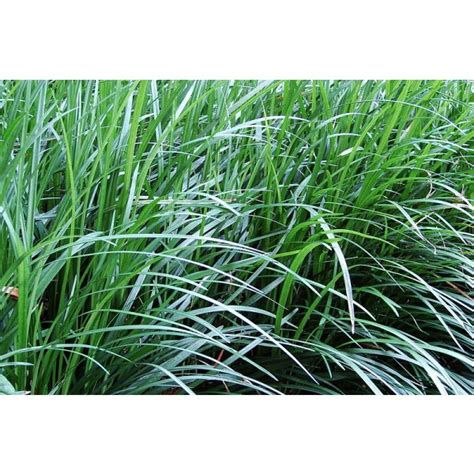 aztec grass buy aztec grass seeds rarexoticseeds