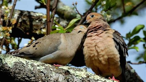 do doves mate for life reference com