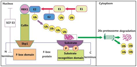 f box protein fbxw7 roles of f box proteins in human digestive system tumors