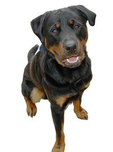rottweiler rescue uk rottweiler rescue and adoption service in taunton somerset