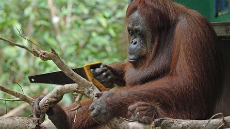 robot orangutan  wild orangutan sawing duel youtube