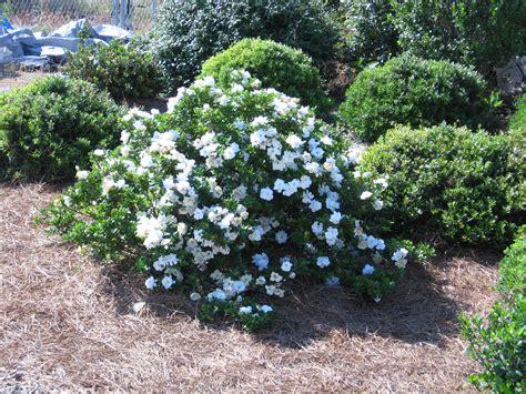 high c gardenias best 25 fresh flower delivery ideas on gardenia crown jewel planthaven international