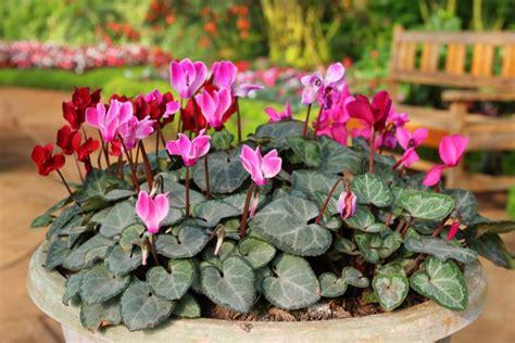 ciclamini in vaso coltivare i ciclamini in vaso 7 consigli utili donnad