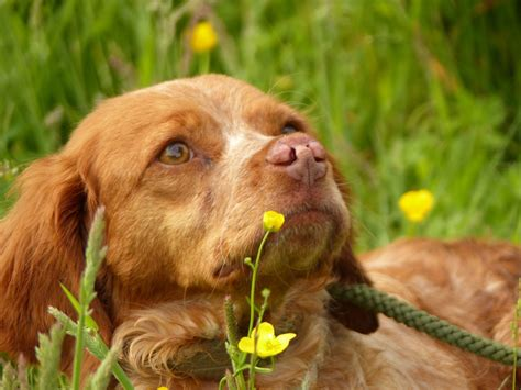spaniel puppies for adoption ursula a breton spaniel for adoption stowmarket suffolk pets4homes