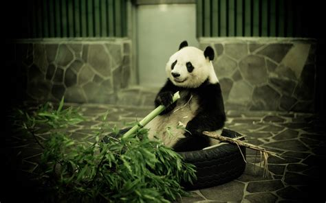 wallpaper hd panda panda images hd hd desktop wallpapers 4k hd