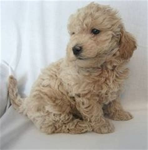 mini doodle alberta doodle goldendoodle and labradoodle mix my