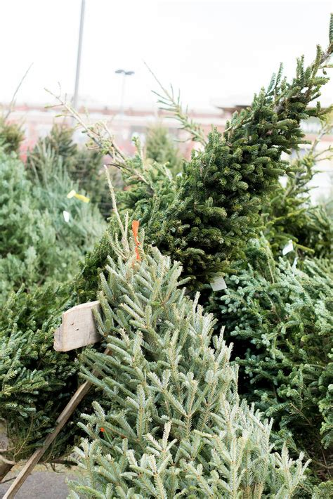 gallery of christmas tree farms near chicago perfect