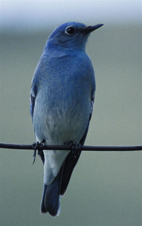 bluebirds of the west on the wild side of the arkansas