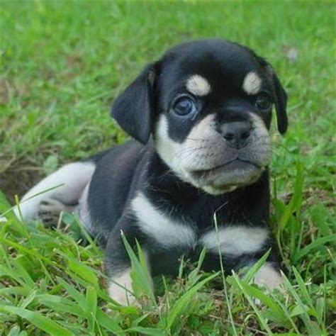 pug and rottweiler mix 1000 images about rottweilers on rottweiler mix rottweiler puppies and