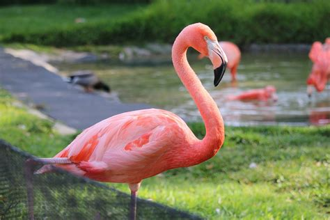 imagenes animal flamenco il fenicottero rosa una tendenza ma anche un fantastico