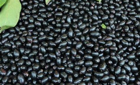 jamun farming information (indian black plum) | agri farming