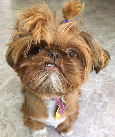 shih tzu maltese mix haircuts 25 best ideas about shih tzu maltese mix on pinterest