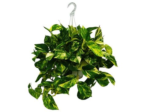 money plant in india images