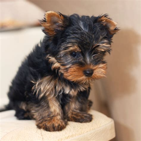 Types Of Small Dogs That Don T Shed by Breeds That Dont Shed Hypoallergenic Dogs Breeds